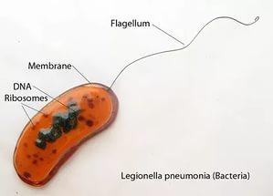 легионелла пневмония