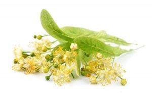 цветы липы от холестерина как принимать